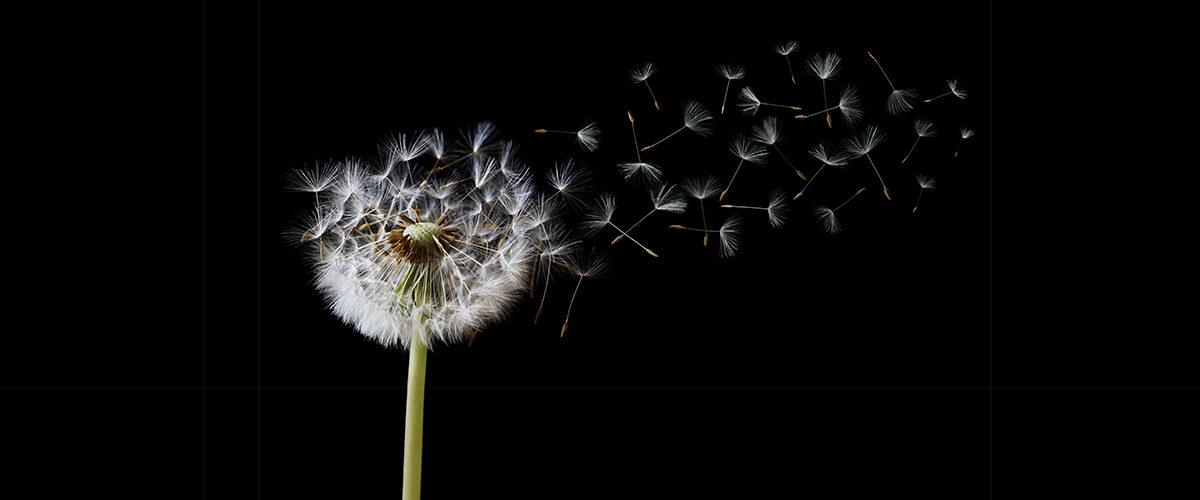 Photographie de graines qui volent au vent.